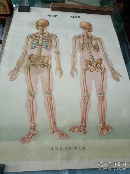 人体和保健骨骼挂图。76/52