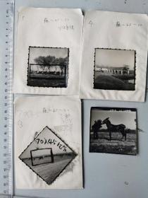 怀远县藕塘公社畜牧业生产老照片四张,1959年一张,加1965年三张