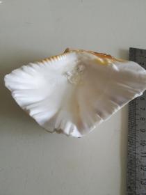 漂亮的天然贝壳-及一堆小海螺合售