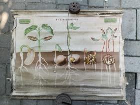 植物学教学挂图第28幅双子叶植物种子的发芽