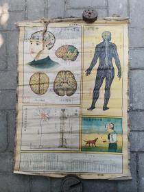 生活知识挂图:生理卫生组-神经系统