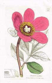 Poeonia corallina. Korallen-Pfingstrose. Altkolorierter Original-Kupferstich bei Sowerby 1805