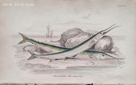 1843年版《自然博物馆系列丛书:英国鱼类图谱》系列彩色版画— 《THE GARFISH》铜版画手工上色