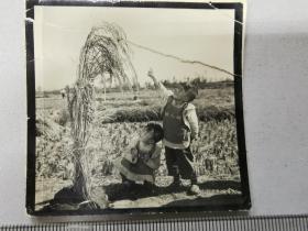 1959大跃进宣传照片:比小朋友高的麦穗,原版