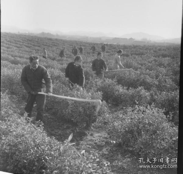 1975底片一张:社员群众在茶叶田的锄草