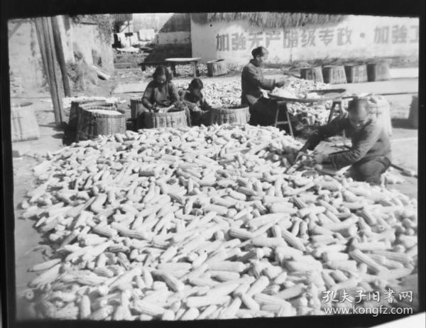 1965底片一张:加强无产阶级专政标语下,安徽农民整理收获的玉米棒