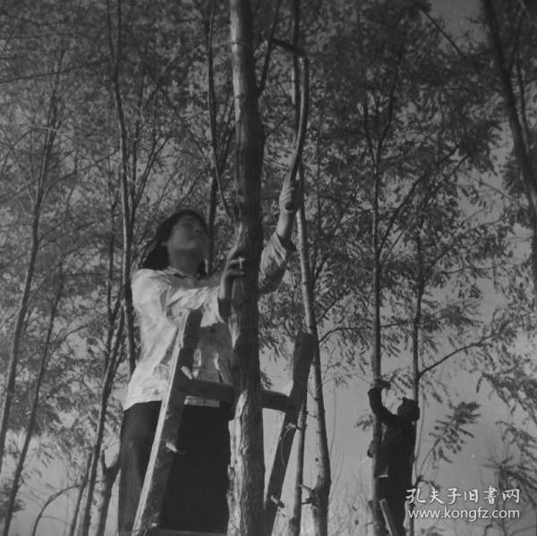 1965老底片一张:林业工人修整树枝