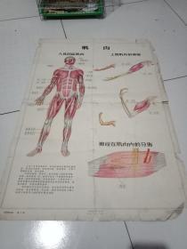 56年挂图《我们的身体》第2图,中华全国科学技术普及协会出版