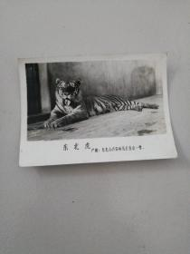 东北虎老照片