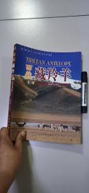 西藏藏羚羊