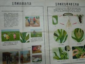 玉米螟的防治方法(农业宣传画)2张