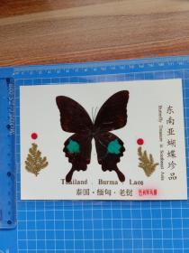 东南亚蝴蝶珍品 巴利翠凤蝶.
