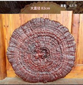 半野生赤灵芝观赏灵芝摆件特大灵芝巨型超大红灵芝茶整枝直径82cm
