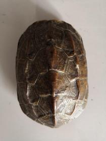 乌龟标本(品相完好,胳膊腿,头)