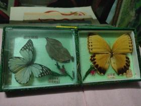 中国峨眉山精品蝴蝶