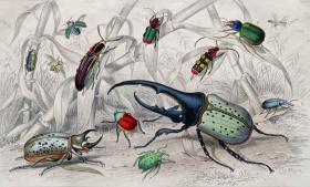 1866版《地球的自然史:动物图谱》—大力甲虫/系列彩色雕版画/手工上色/25x16.5cm