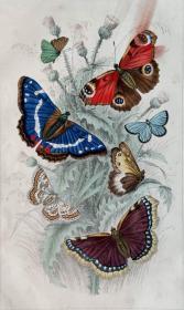 1866版《地球的自然史:动物图谱》—孔雀铗蝶/系列彩色雕版画/手工上色/25x16.5cm