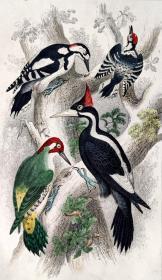 1866版《地球的自然史:动物图谱》—象牙喙啄木鸟/系列彩色雕版画/手工上色/25x16.5cm
