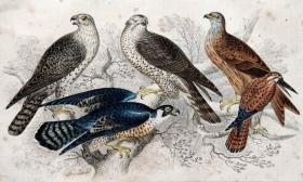 1866版《地球的自然史:动物图谱》—矛隼/系列彩色雕版画/手工上色/25x16.5cm