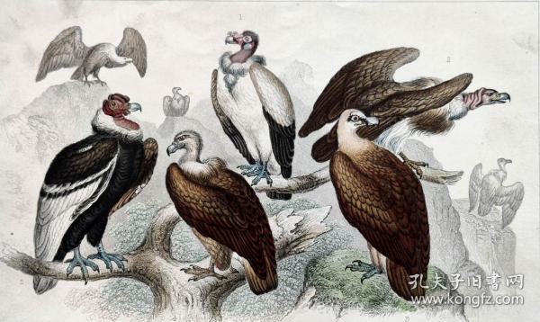 1866版《地球的自然史:动物图谱》—秃鹫之王/系列彩色雕版画/手工上色/25x16.5cm