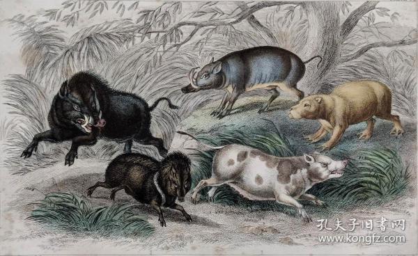 1866版《地球的自然史:动物图谱》—野猪/系列彩色雕版画/手工上色/25x16.5cm