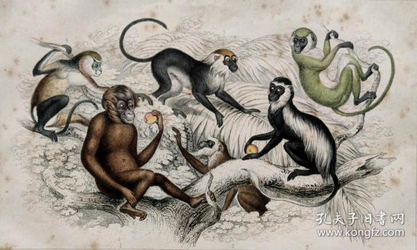 1866版《地球的自然史:动物图谱》—,猩猩/系列彩色雕版画/手工上色/25x16.5cm