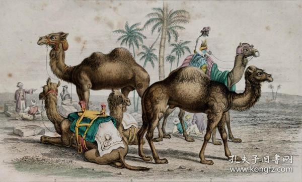 1866版《地球的自然史:动物图谱》—双峰骆驼/系列彩色雕版画/手工上色/25x16.5cm