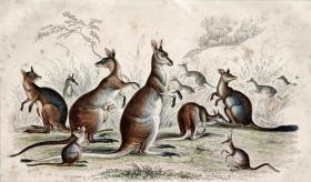1866版《地球的自然史:动物图谱》—袋鼠/系列彩色雕版画/手工上色/25x16.5cm