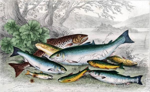 1866版《地球的自然史:动物图谱》—鲑鱼/系列彩色雕版画/手工上色/25x16.5cm