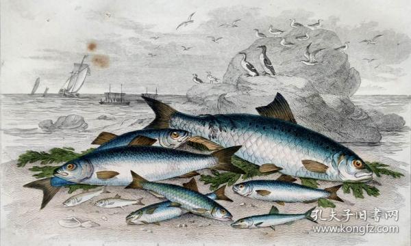1866版《地球的自然史:动物图谱》—混西鲱/系列彩色雕版画/手工上色/25x16.5cm