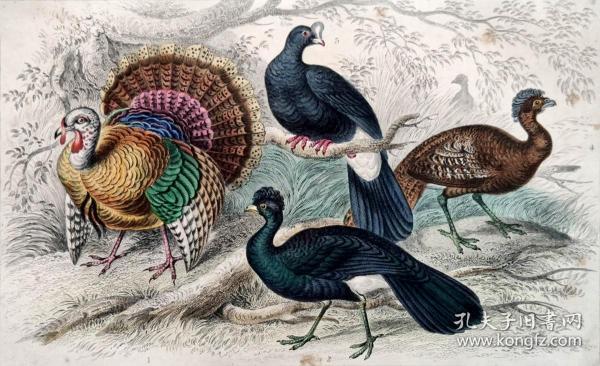 1866版《地球的自然史:动物图谱》—美国野火鸡/系列彩色雕版画/手工上色/25x16.5cm