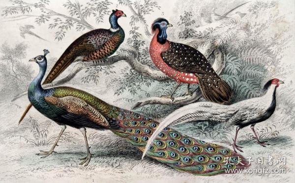 1866版《地球的自然史:动物图谱》—孔雀/系列彩色雕版画/手工上色/25x16.5cm