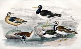1866版《地球的自然史:动物图谱》—欧洲蛎鹬/系列彩色雕版画/手工上色/25x16.5cm