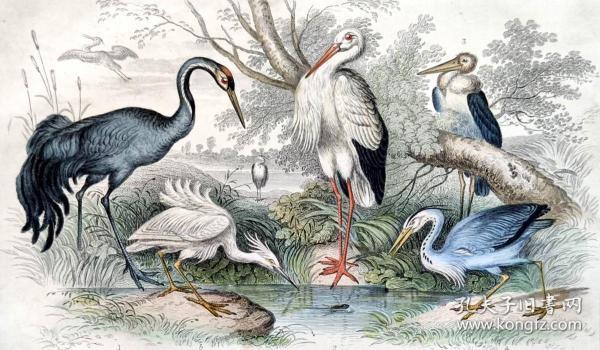 1866版《地球的自然史:动物图谱》—灰鹤/系列彩色雕版画/手工上色/25x16.5cm