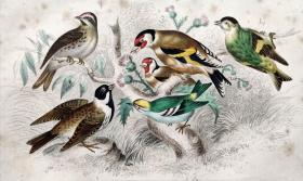 1866版《地球的自然史:动物图谱》—黄雀/系列彩色雕版画/手工上色/25x16.5cm