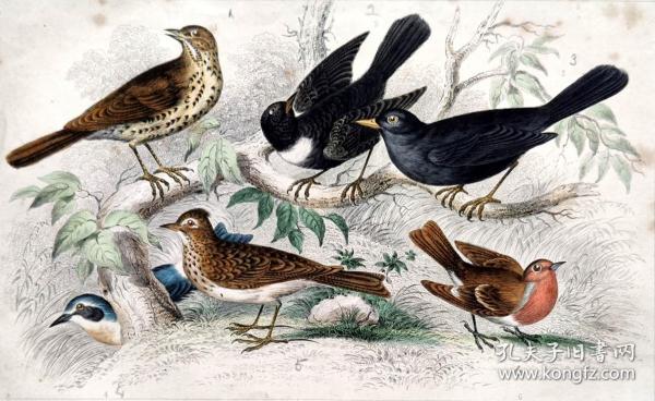 1866版《地球的自然史:动物图谱》—画眉鸟/系列彩色雕版画/手工上色/25x16.5cm
