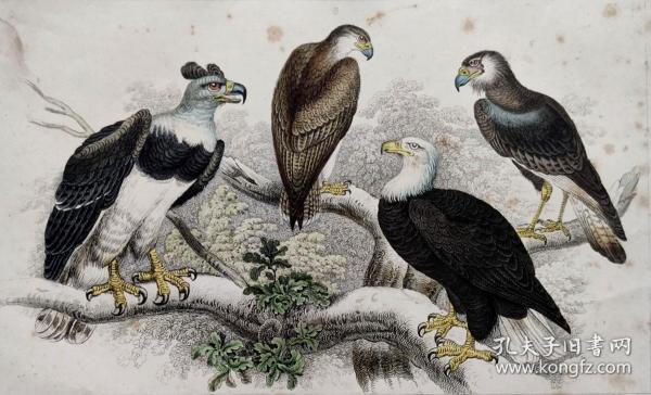 1866版《地球的自然史:动物图谱》—白头海雕/系列彩色雕版画/手工上色/25x16.5cm