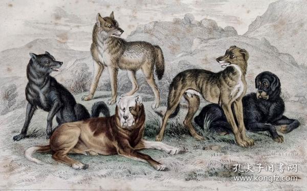 1866版《地球的自然史:动物图谱》—欧洲狼/系列彩色雕版画/手工上色/25x16.5cm