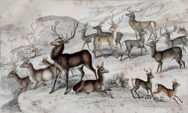 1866版《地球的自然史:动物图谱》—马鹿/系列彩色雕版画/手工上色/25x16.5cm