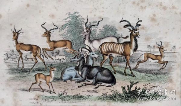1866版《地球的自然史:动物图谱》—羚羊/系列彩色雕版画/手工上色/25x16.5cm