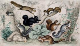 1866版《地球的自然史:动物图谱》—美洲黑松鼠/系列彩色雕版画/手工上色/25x16.5cm