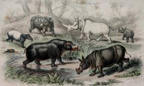 1866版《地球的自然史:动物图谱》—河马/系列彩色雕版画/手工上色/25x16.5cm