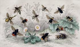 1866版《地球的自然史:动物图谱》—蜜蜂/系列彩色雕版画/手工上色/25x16.5cm