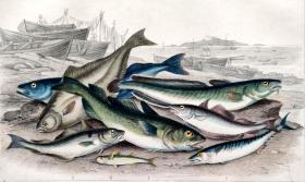 1866版《地球的自然史:动物图谱》—普通鳕/系列彩色雕版画/手工上色/25x16.5cm