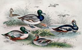 1866版《地球的自然史:动物图谱》—蓝翅笑翠鸟/系列彩色雕版画/手工上色/25x16.5cm