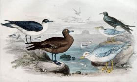 1866版《地球的自然史:动物图谱》—黑趾鸥/系列彩色雕版画/手工上色/25x16.5cm