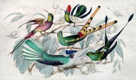 1866版《地球的自然史:动物图谱》—蜂鸟/系列彩色雕版画/手工上色/25x16.5cm