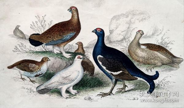 1866版《地球的自然史:动物图谱》—赤松鸡/系列彩色雕版画/手工上色/25x16.5cm