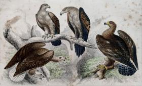 1866版《地球的自然史:动物图谱》—大海雕/系列彩色雕版画/手工上色/25x16.5cm