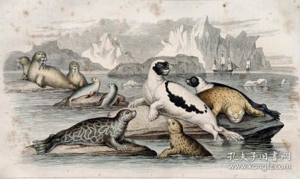 1866版《地球的自然史:动物图谱》—海豹/系列彩色雕版画/手工上色/25x16.5cm